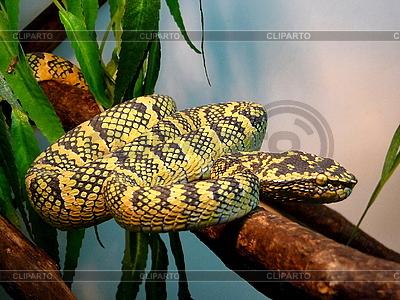 Żółty pstry snake | Foto stockowe wysokiej rozdzielczości |ID 3011040