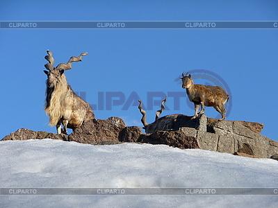 Wilde Ziegefamilie | Foto mit hoher Auflösung |ID 3011048
