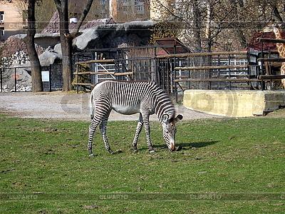 Zebra in Mscow zoo   High resolution stock photo  ID 3011078