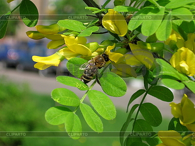 Bee on the acacia flower | High resolution stock photo |ID 3011825