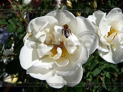 Bee on the white dogrose | High resolution stock photo |ID 3011826