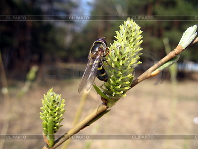 Bee on yellow flower   High resolution stock photo  ID 3011827