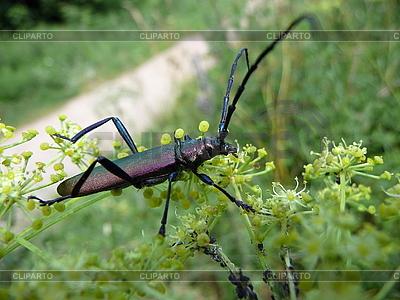 Beetle z dużymi antenami | Foto stockowe wysokiej rozdzielczości |ID 3011833