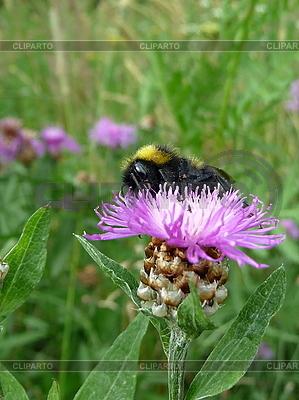 Trzmiel na purpurowy kwiat | Foto stockowe wysokiej rozdzielczości |ID 3011837