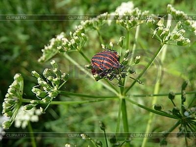 Красный полосатый клоп щитник Graphosoma lineatum | Фото большого размера |ID 3011893