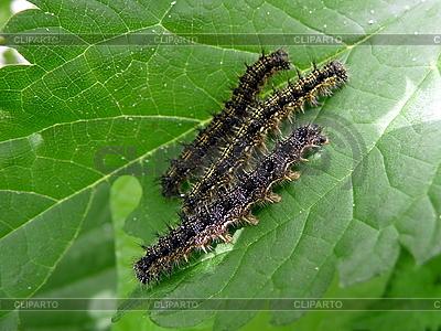 Three caterpillars | High resolution stock photo |ID 3011898