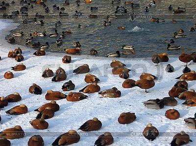 Enten im Teich   Foto mit hoher Auflösung  ID 3011942