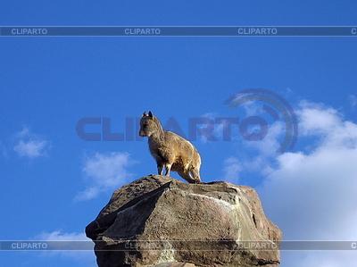 돌에 염소 | 높은 해상도 사진 |ID 3011955