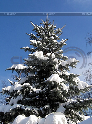 Spruce in snow | High resolution stock photo |ID 3012010