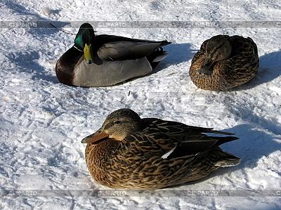 Drei Enten | Foto mit hoher Auflösung |ID 3012023