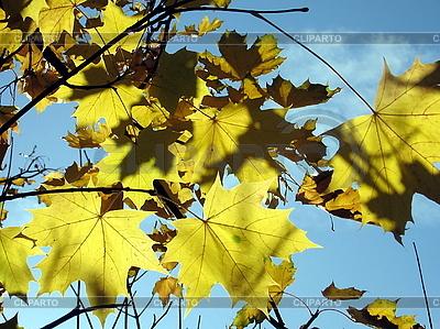 Gelbe Ahornblätter | Foto mit hoher Auflösung |ID 3012047