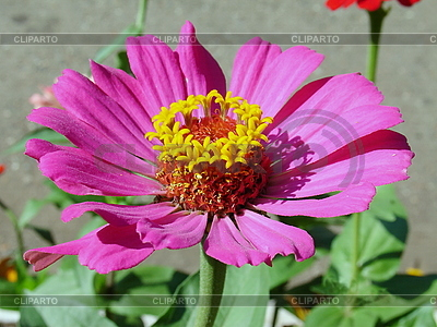 Flowers serie of high quality graphics cliparto unusual pink flower with yellow round center tomatto mightylinksfo Image collections