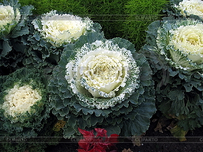 Cabbage | High resolution stock photo |ID 3012329