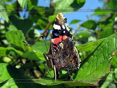 Admiral-Schmetterling auf dem Blatt | Foto mit hoher Auflösung |ID 3012448