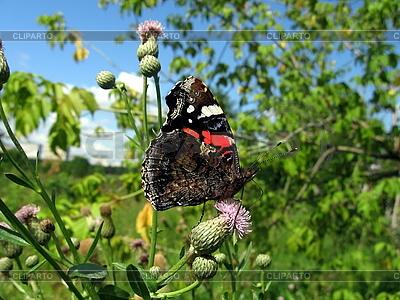 Admiral-Schmetterling auf der Blume   Foto mit hoher Auflösung  ID 3012449