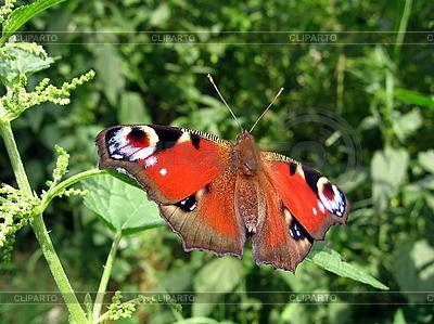 Piękny motyl paw | Foto stockowe wysokiej rozdzielczości |ID 3012455