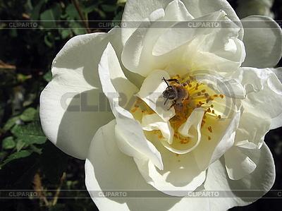 Bee w dogrose kwiat | Foto stockowe wysokiej rozdzielczości |ID 3012456