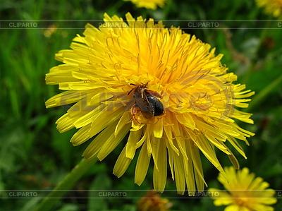 Biene auf Löwenzahn | Foto mit hoher Auflösung |ID 3012457