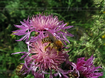 Bee on pink flower | High resolution stock photo |ID 3012458