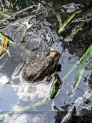 Frosch in Teich | Foto mit hoher Auflösung |ID 3012509