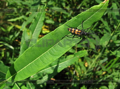 Motley bug on leaf | High resolution stock photo |ID 3012546