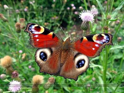 Czerwony motyl paw | Foto stockowe wysokiej rozdzielczości |ID 3012582