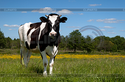 Black cow grazing in field | High resolution stock photo |ID 3012418
