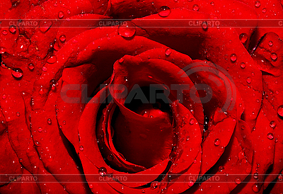 Dark red rose with water drops | High resolution stock photo |ID 3013430