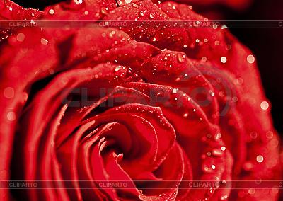 Dunkle rote Rose | Foto mit hoher Auflösung |ID 3013433