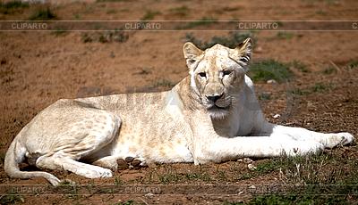 Biały lew | Foto stockowe wysokiej rozdzielczości |ID 3017870
