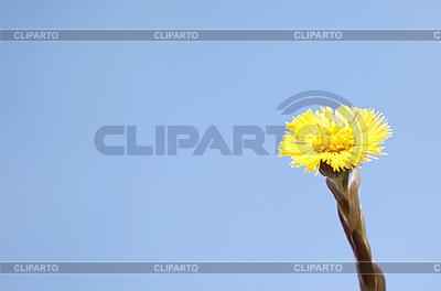 Jeden żółty podbiału | Foto stockowe wysokiej rozdzielczości |ID 3018133