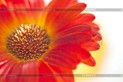 非洲菊   高分辨率照片  ID 3018164