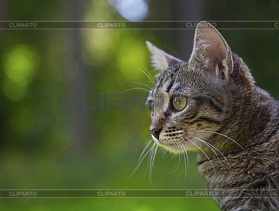 Grey little cat  | High resolution stock photo |ID 3036780
