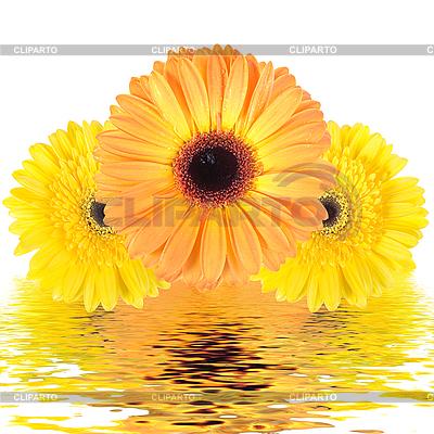세 개의 노란 꽃 물에 반영   높은 해상도 사진  ID 3032973