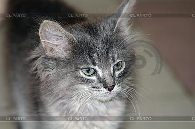 Grey kitten | High resolution stock photo |ID 3033191