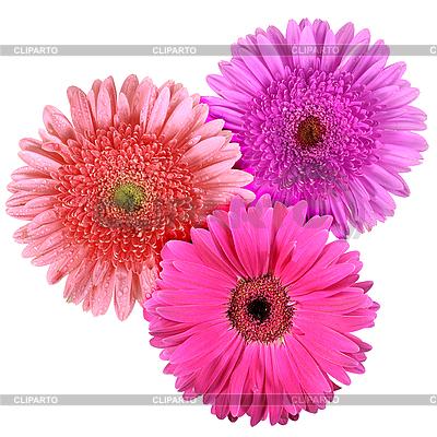 세 꽃 흰색 배경에 고립 | 높은 해상도 사진 |ID 3033212