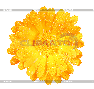 Flower of calendula with dew | High resolution stock photo |ID 3033276