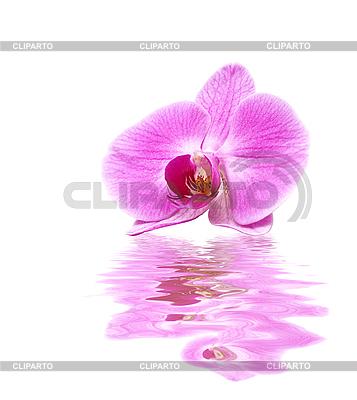 Rosa Orchidee | Foto mit hoher Auflösung |ID 3014403