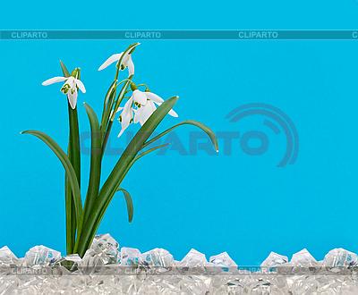 Schneeglöckchen im Eis | Foto mit hoher Auflösung |ID 3014551