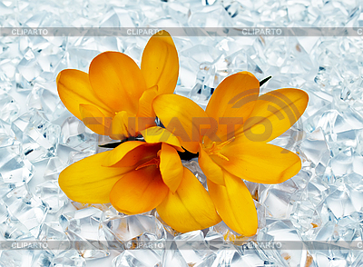 Flowers in ice | High resolution stock photo |ID 3014561