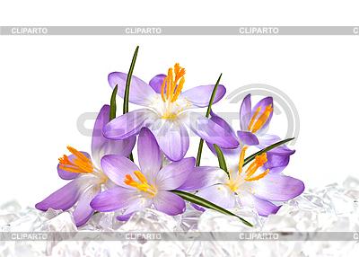 Цветы крокуса на льду | Фото большого размера |ID 3014619