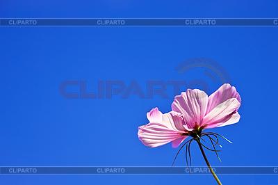 Розовый цветок   Фото большого размера  ID 3014645