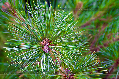 Winter background of pine branches. | High resolution stock photo |ID 3018772