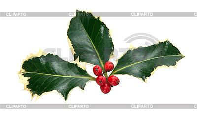 Blätter und Beeren von Stechpalme | Foto mit hoher Auflösung |ID 3018918