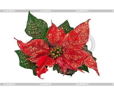 Weihnachtsblume | Foto mit hoher Auflösung |ID 3019234