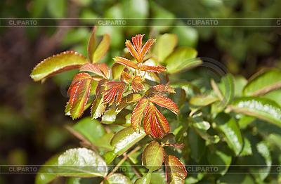 Rosebush | High resolution stock photo |ID 3019298
