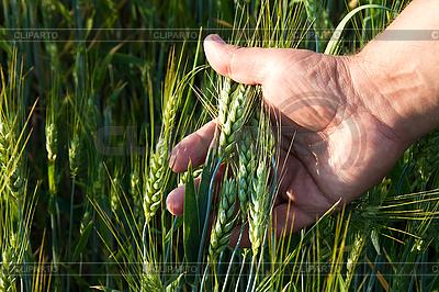 Wheat in men`s hand | Foto stockowe wysokiej rozdzielczości |ID 3024342