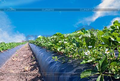 Strawberry field   High resolution stock photo  ID 3024397