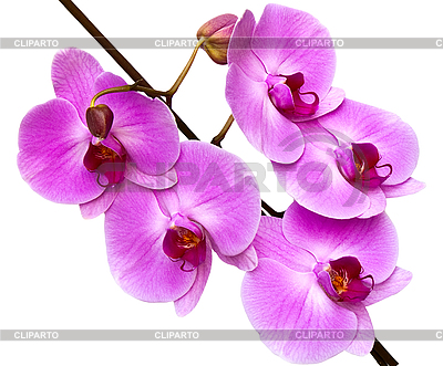 Rosa Orchidee | Foto mit hoher Auflösung |ID 3024398