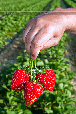 Frische Erdbeeren in Hand   Foto mit hoher Auflösung  ID 3024435